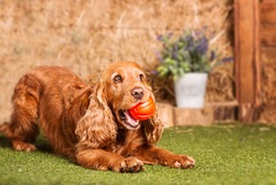 Spaniel playing with a ball
