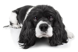 Spaniel puppy dog isolated on white background
