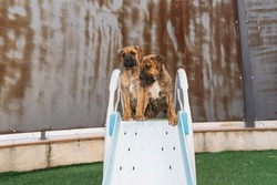 Spanish Alano puppies sitting pluying on a slide in their backyard on a sunny day