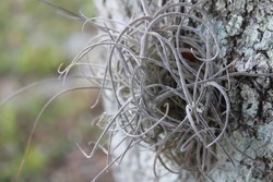 Spanish ballmoss, tillandsia recurvata, growing to bark on the side of an oak tree found in a park in Florida. Ballmoss is a type of air plant native to the southern United States, including Florida.