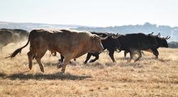Spanish black bull running on the cattle farm