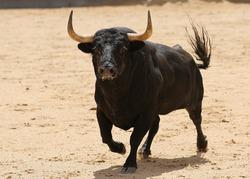 spanish bull in the bullring