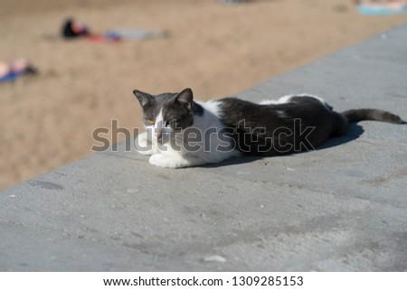 Spanish cat sunbathing near the beach #1309285153