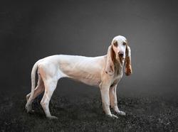 spanish hound in a grey background