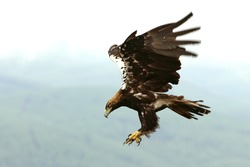 Spanish Imperial Eagle adult male flying on a cloudy day with a lot of wind