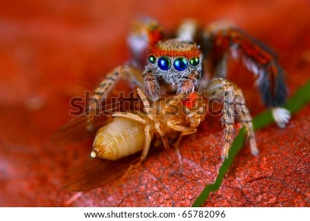 Spanish jumping spider Saitis barbipes with fruit fly