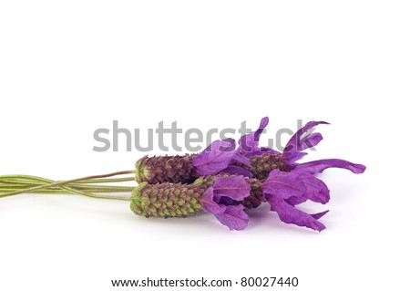 Spanish lavender flowers isolated on white in horizontal format with copy space