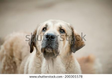spanish mastiff #200301578