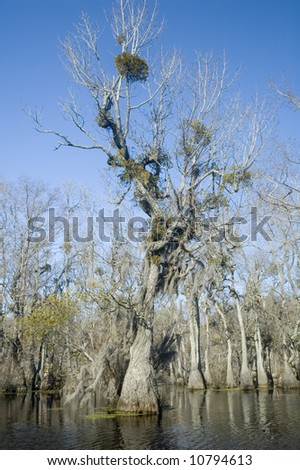 spanish moss and mistletoe in cypress tree