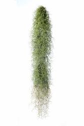 Spanish Moss, Grandpas Beard isolated on white background.