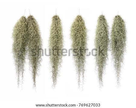 Spanish Moss, Grandpas Beard isolated on white background. #769627033