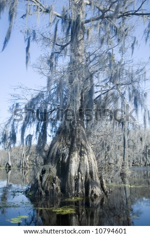 spanish moss hangs from cypress tree in swamp