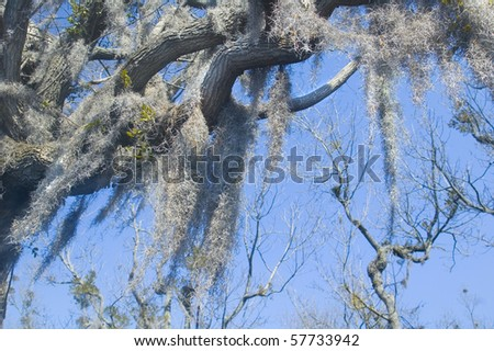 spanish moss hangs from old cypress tree