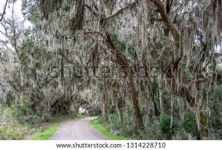Spanish Moss Tillandsia usneoides an epiphytic flowering plant that grows upon larger trees in tropical and subtropical climates in Savannah Georgi