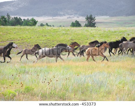 Spanish Mustang herd in Gallop - stock photo