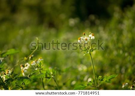 spanish needle grass, black-jack, beggar-ticks, cobbler's pegs