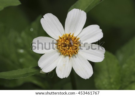 Free photos shepherds needles white flower bidens pilosa var spanish needle white flowers bidens pilosa var radiata it is a mightylinksfo