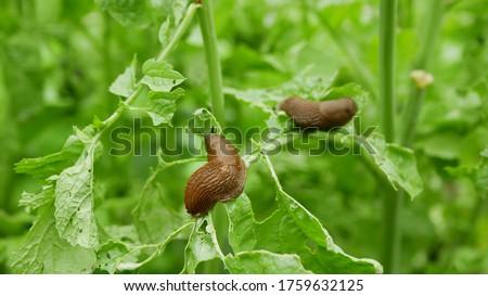 Spanish slug Arion vulgaris snail parasitizes on radish or lettuce cabbage moves garden field, eating ripe plant crops, moving invasive brownish dangerous pest agriculture, farming farm, poison