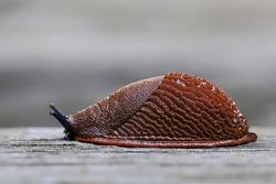 Spanish slug in nature environment