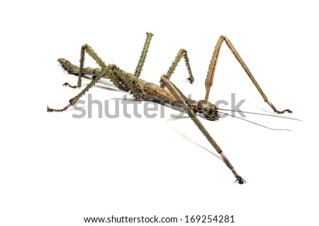 Spanish Walking Stick insect species Leptynia hispanica  #169254281