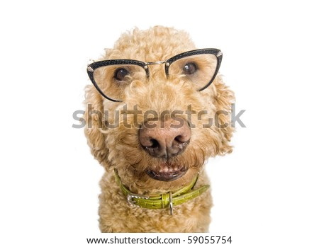 Spanish waterdog wearing cat-eye glasses, shot over white