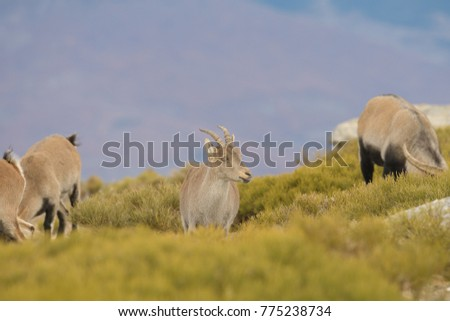 Spanish Wild Goat - Iberian Ibex #775238734