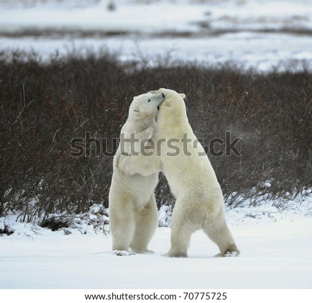 Sparing. The polar bears fighting on snow which have got up on hinder legs.The bear has seized a mouth by a throat of the opponent.
