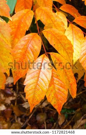Sparkling leaves orange leaves #1172821468
