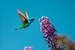Sparkling violetear (Colibri coruscans) hummingbird flying next to beautiful pink flower against blue sky background. Wildlife in tropic, bird sucking nectar from bloom in the forest.