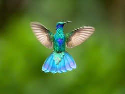 Sparkling violetear (Colibri coruscans) is a species of hummingbird. It is widespread in highlands of northern and western South America, including a large part of the Andes
