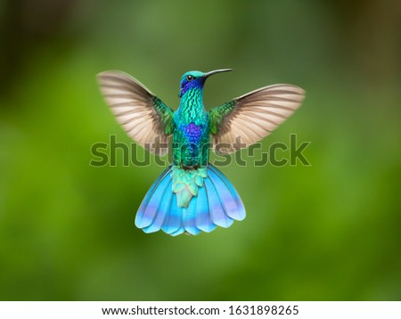 Sparkling violetear (Colibri coruscans) is a species of hummingbird. It is widespread in highlands of northern and western South America, including a large part of the Andes Stock photo ©
