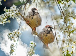 sparows on a spring branch