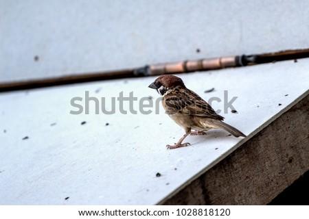 Sparrow avian ornithology #1028818120