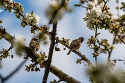 Sparrow bird perched on blossoming cherry tree branch during spring. House sparrow female songbird (Passer domesticus) during spring.