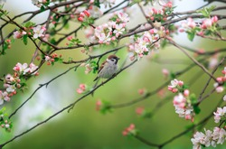 Sparrow bird sits in a spring garden on the flowering branches of an Apple tree on a Sunny day