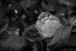Sparrow bird sitting on tree branch. The alone sparrow sits on branch. Black and white photo.