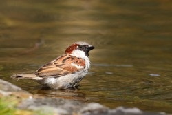 Sparrow bird sitting on water pond. Sparrow songbird (family Passeridae) refreshing, drinking and bathing inside clear water pond with ripples and reflections. Bird wildlife scene.