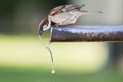 Sparrow drinking fresh water from a fountain tube