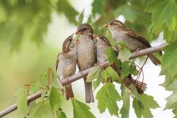 Sparrow Family in a backyard tree in Jacksonville Beach, Florida