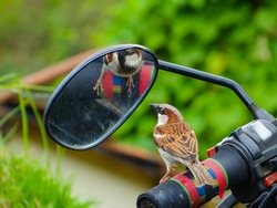 Sparrow finds a mate in the mirror of a motorcycle.