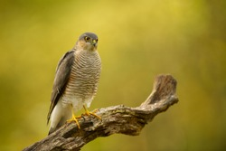 Sparrow Hawk bird sitting on a wooden branch in front of beautiful bokeh background in autumn colors