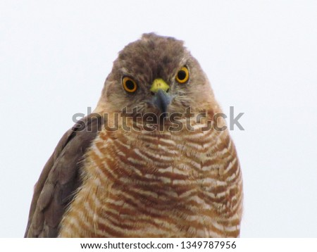 Sparrow Hawk Closeup #1349787956