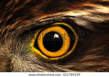 Sparrow-hawk eye