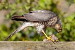 Sparrow Hawk in backyard with prey