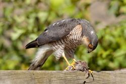 Sparrow Hawk preparing House Sparrow prey