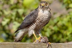 Sparrow Hawk with House Sparrow prey