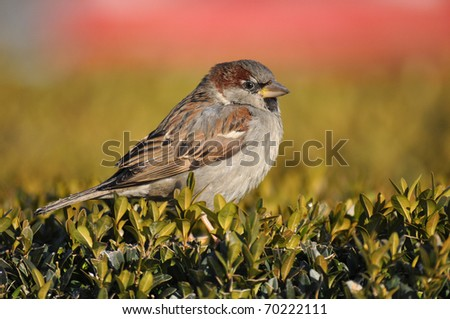 Sparrow, House Sparrow, Passer domesticus - stock photo