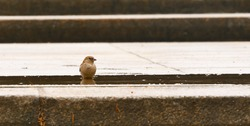 Sparrow in a puddle. A small, funny bird washes its feathers and drinks water from a puddle after a rain. Wild life of urban animals, birds. Closeup. Template.