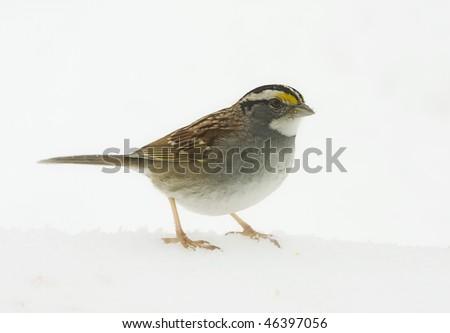 sparrow in snowstorm