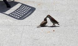 Sparrow is feeding sparrow, city little birds.